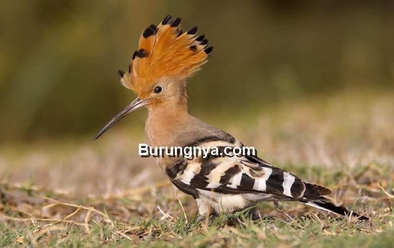 Burung Hoopoe (ebird.org)