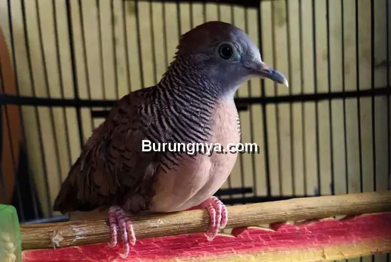 Burung Perkutut Tidak Mau Bunyi (olx.co.id)