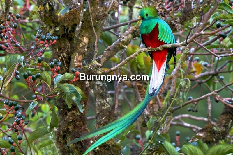 Burung Resplendent Quetzal (ebird.org)