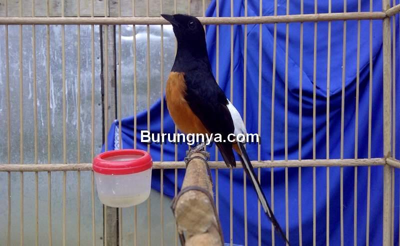 Cara Dasar Memilih Murai Batu Fighter (amiexs.blogspot.com)