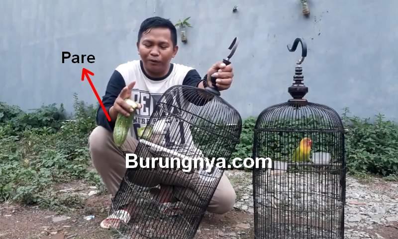 Cara Mengatasi Lovebird Ngeriwik (youtube.com)