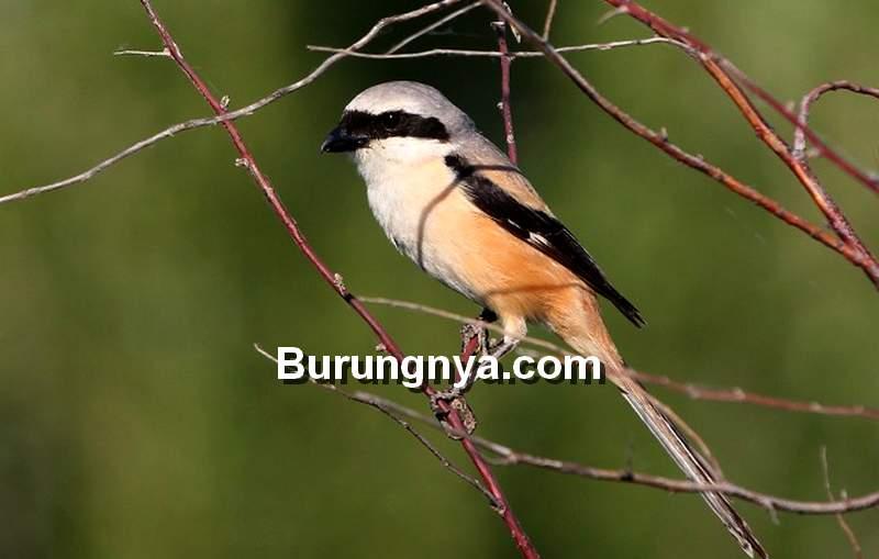 Cendet Berperilaku Buruk (birdguides.com)