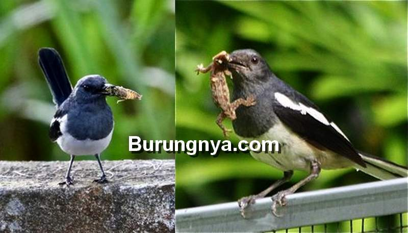 Daftar Makanan Burung Kacer agar Rajin Bunyi dan Gacor (pinterest.com)