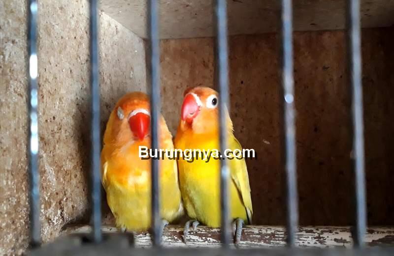 Fakta dan Mitos Burung Lovebird (pakanmaster.com)