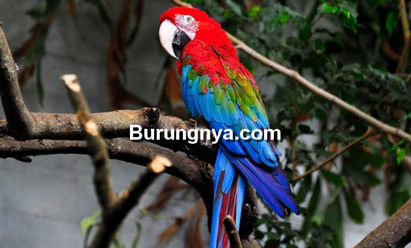 Greenwing Macaw (sfzoo.org)