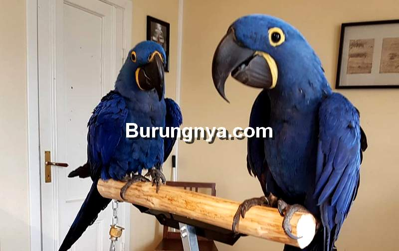Hyacinth Macaw (company.com)