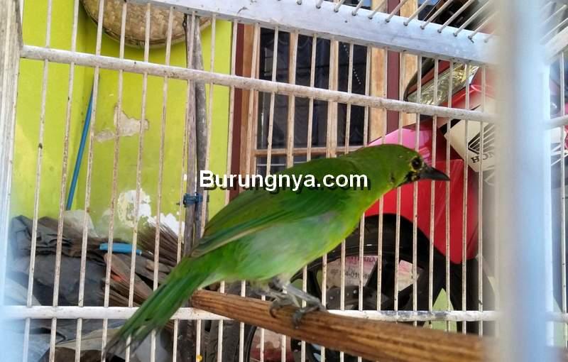 Ilustrasi Cucak Ijo Semiran (mongabay.co.id)