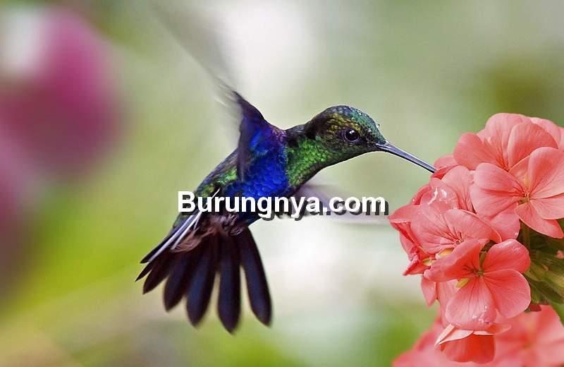 Jenis Makanan Burung Kolibri (forestsoils.org)