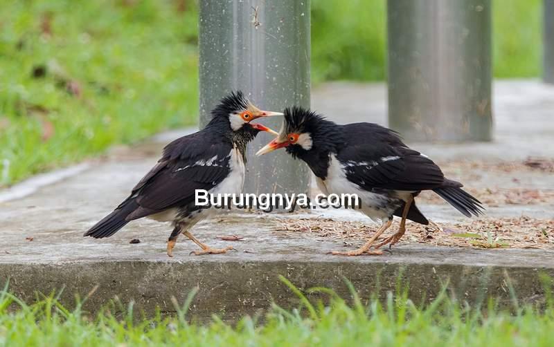 Makanan Burung Jalak Suren (fryap.wordpress.com)