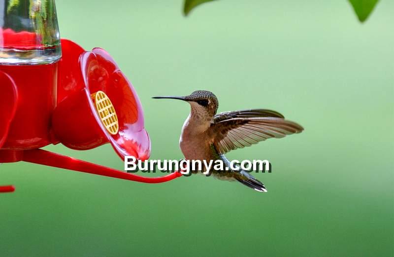 Makanan Burung Kolibri agar Rajin Bunyi (audubon.org)