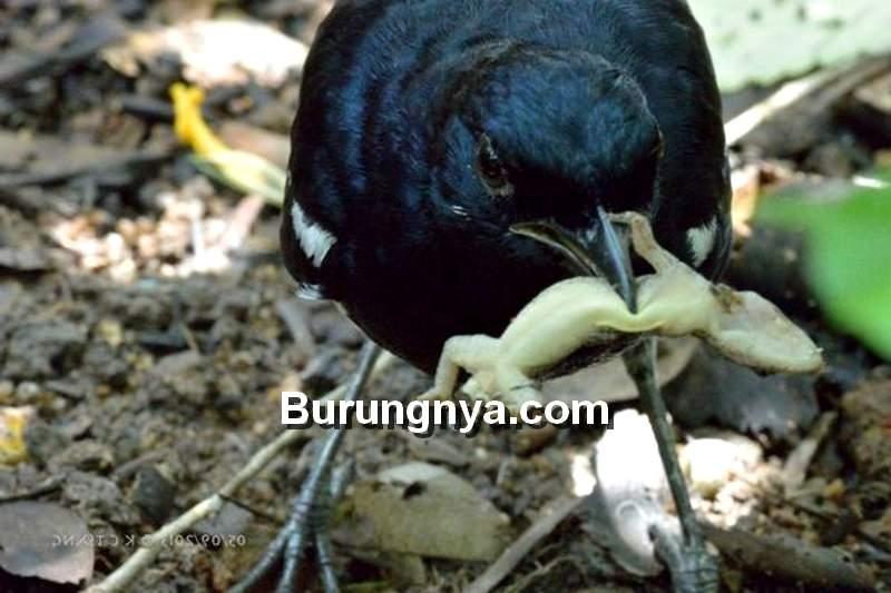 Makanan Kacer Cicak Hutan (besgroup.org)