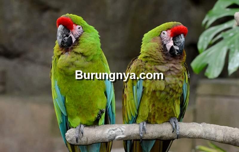 Military Macaw (parrotandeggshop.com)