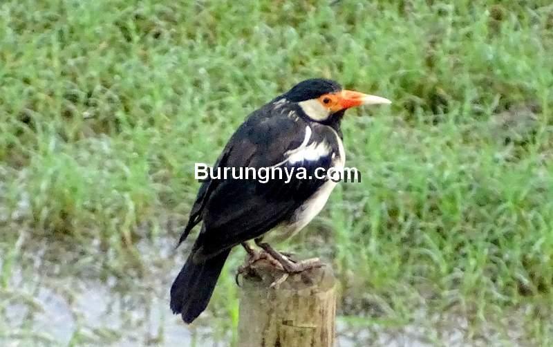 Pakan Burung Jalak Suren Gacor (treknature.com)