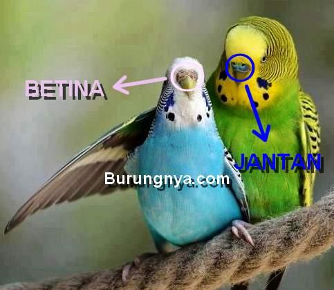 Perbedaan Parkit Jantan dan Betina (pinterest.com)