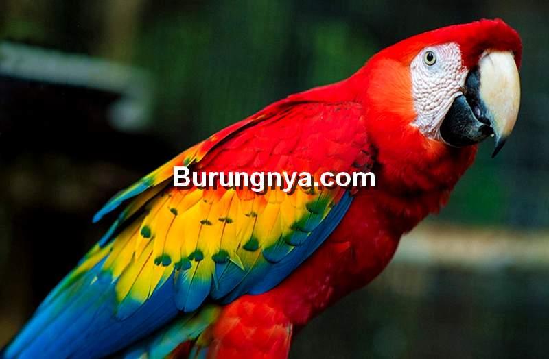 Scarlet Macaw (medium.com)