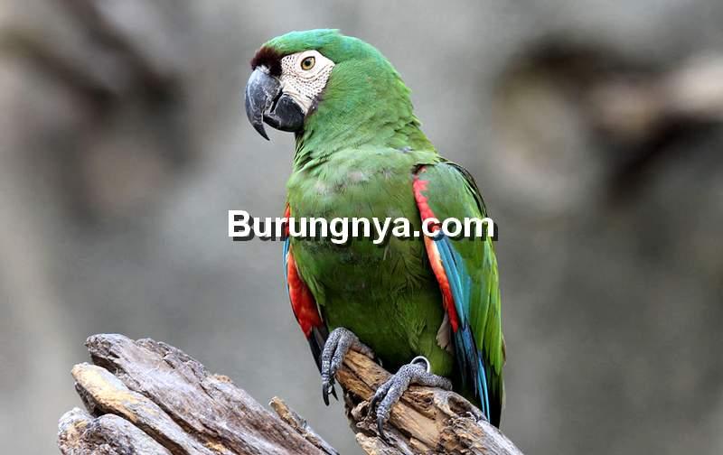 Severe Macaw (petguide.com)