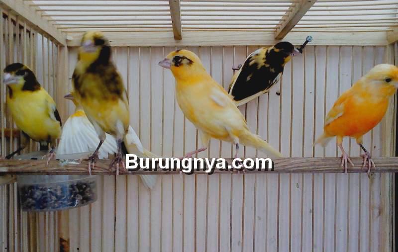 Tips Kenari Cepat Bunyi (danadesa.id)