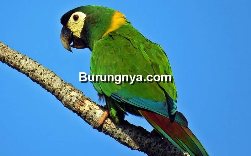 Yellow Collared Macaw (ebird.org)