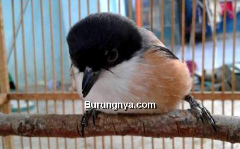 Cara Mengatasi Cendet Miyik atau Manja dengan Terapi Kejut dan Semprot (burungmaster.co)