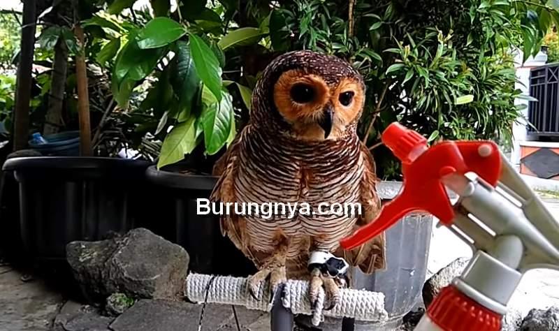 Cara Menjinakkan Burung Hantu dengan Air Hangat (youtube.com)