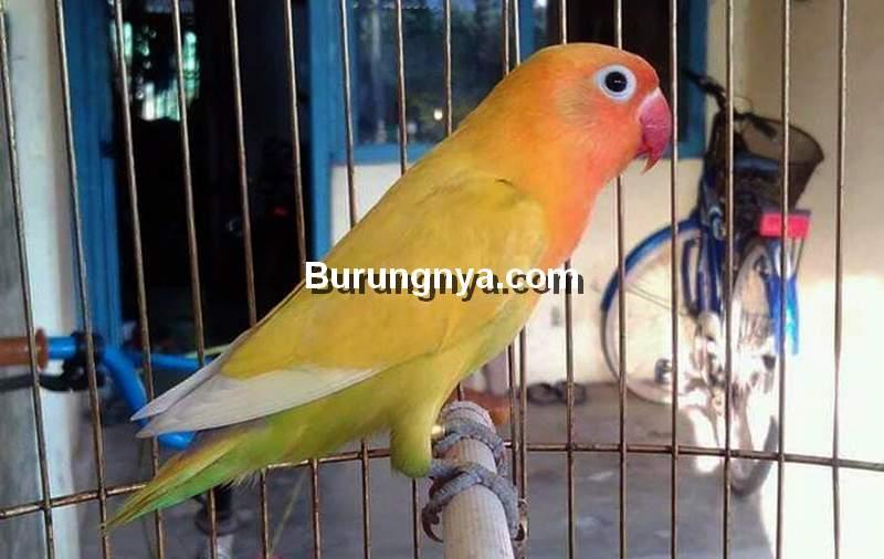 Cara Merawat Lovebird Paling Sederhana (tokopedia.com)