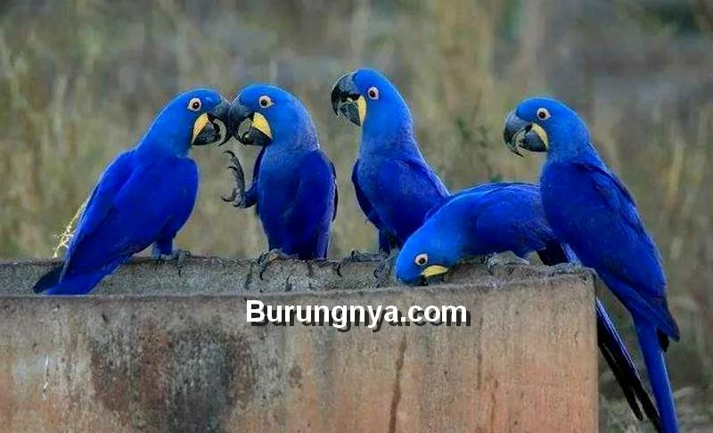 Fakta Burung Macaw Biru, Blue Macaw, Hyacinth Macaw (pinterest.com)
