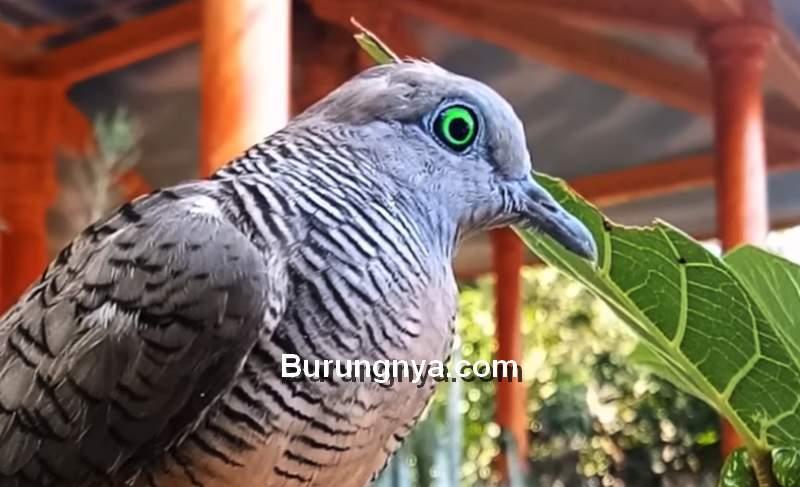Katuranggan Perkutut Mercu Jiwo Mata Kuning (youtube.com)