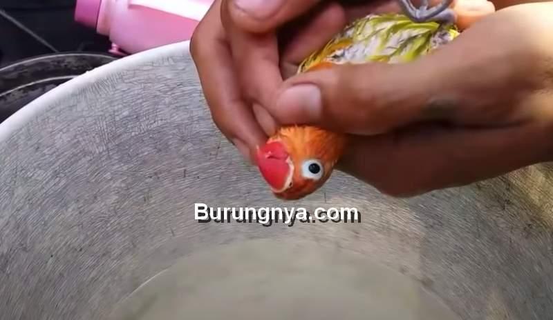 Lovebird Dibalik Tubuhnya agar Air Hangat di Hidung Keluar (youtube.com)