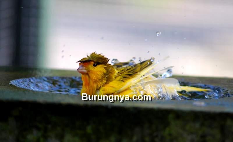Manfaat Mandi Rutin pada Burung Kicau dan Frekuensi Mandi (flickr.com)