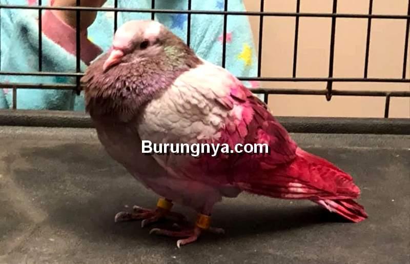 Mitos Burung Merpati Pembawa Sial dan Petaka di Gorontalo (cbc.ca)