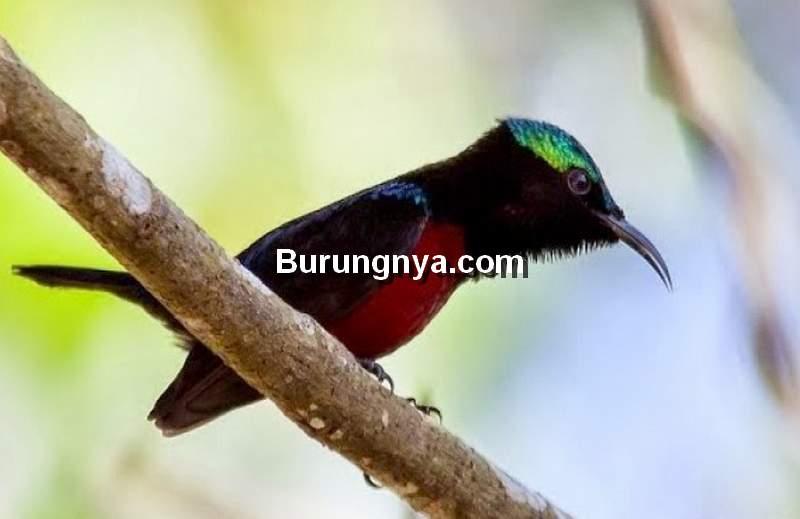 Pakan Burung Konin Harian dan Pakan EF (trubus.id)