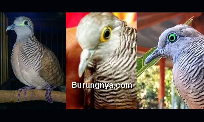 Perkutut Mata Kuning Rondo Semoyo, Bali, dan Mercu Jiwo (olx.co.id)