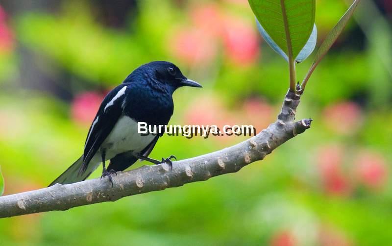 Ramuan Burung Kacer (bigstone79.blogspot.com)