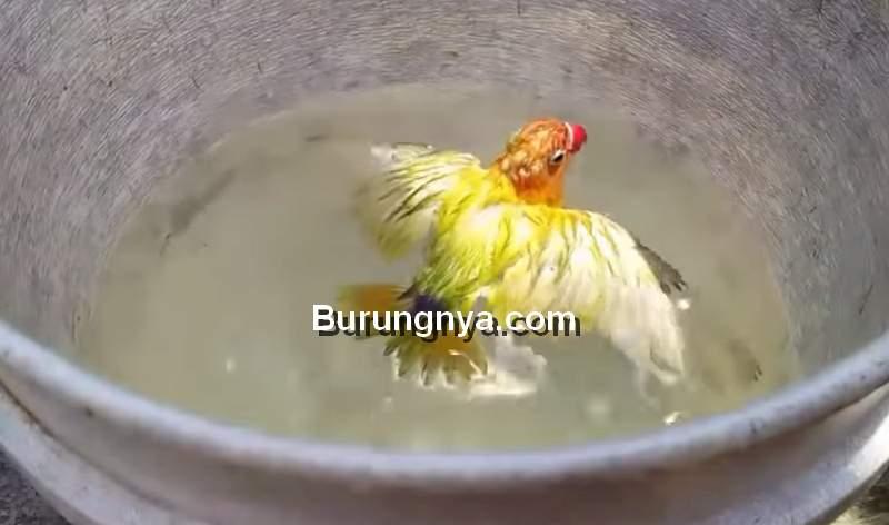 Terapi Mandi Air Hangat untuk Lovebird Durasi Panjang (youtube.com)