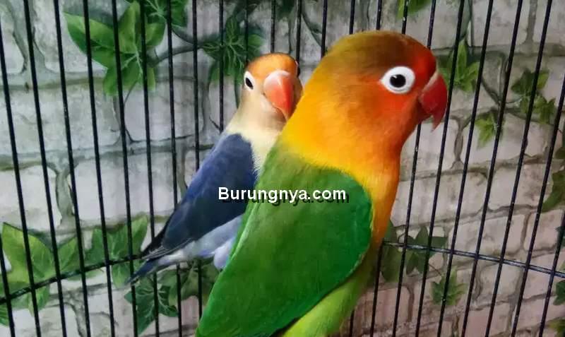 Cara Jual Lovebird Cepat Laku dan Untung (olx.co.id)