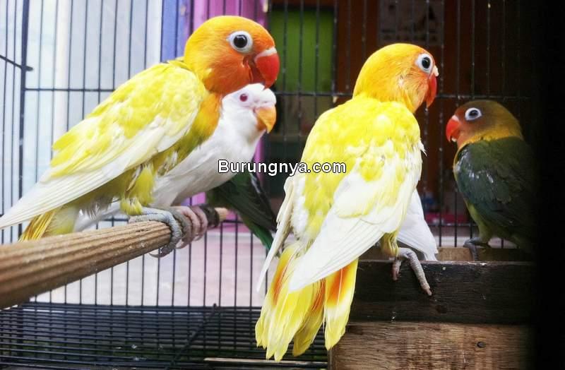 Cara Memaster Burung Lovebird dengan Aplikasi Alarm (lensalovebird.com)