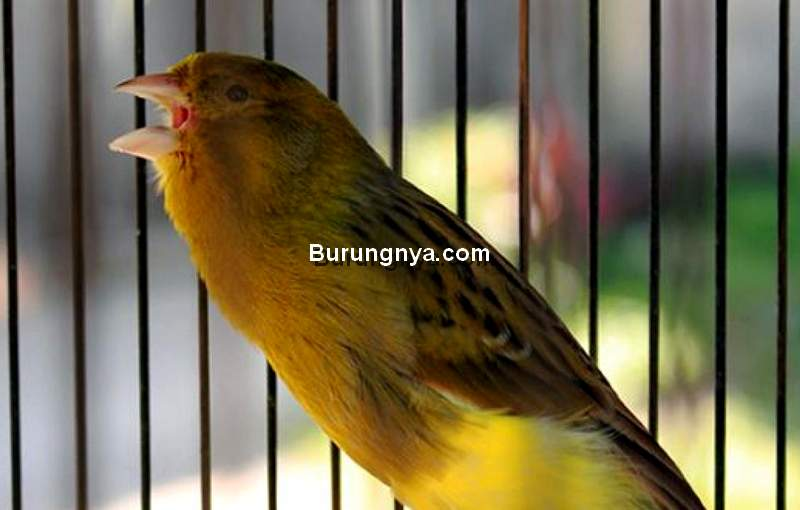 Cara Membuat Kenari Ngerol Panjang Tanpa Putus (burungmaster.co)