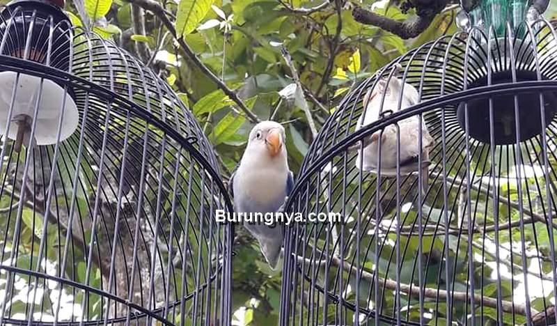 Cara Menangkap Burung yang Lepas dari Kandang (masbronur.blogspot.com)