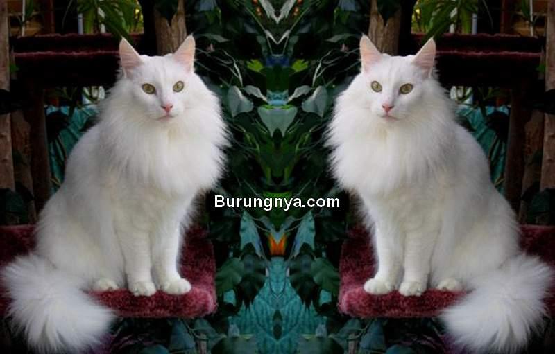 Ciri Fisik Kucing Anggora Asli (pinterest.com)