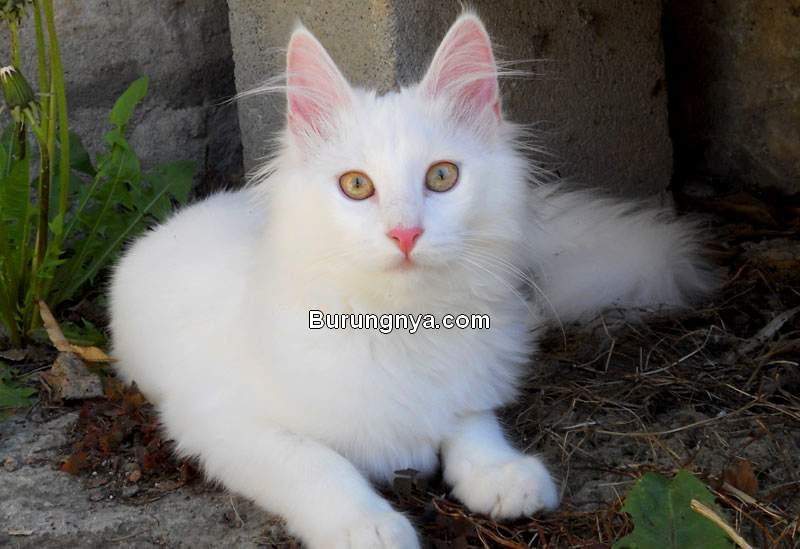 Ciri Kucing Anggora (wikimedia.org)
