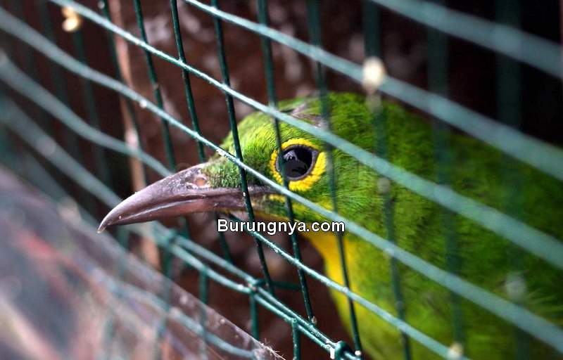 Daftar Burung Dilindungi Diperpanjang sampai Januari 2021 (sindonews.com)