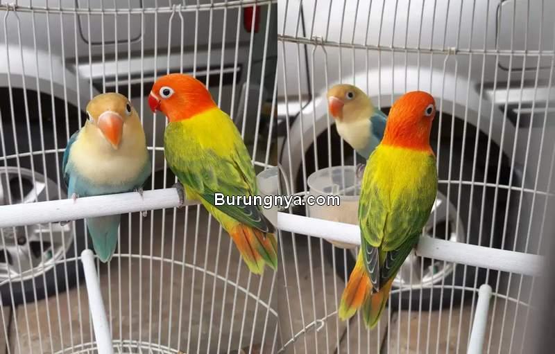 Daftar Harga Lovebird Biola Terbaru (olx.co.id)