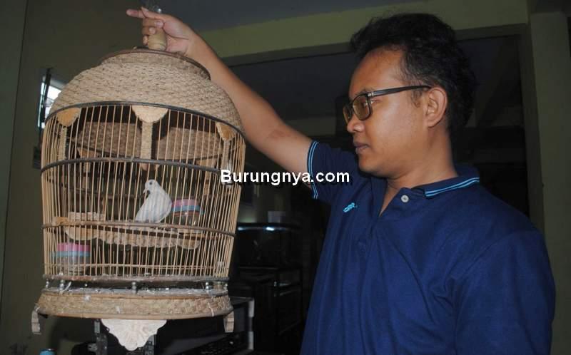 Fakta Aneh dan Unik Burung Perkutut (harianmerapi.com)
