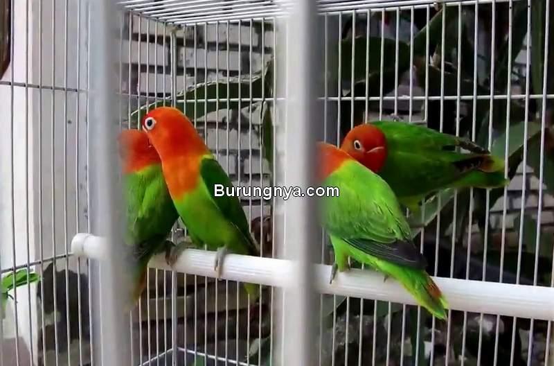 Harga Burung Lovebird Biola 2020 Turun (werite.net)