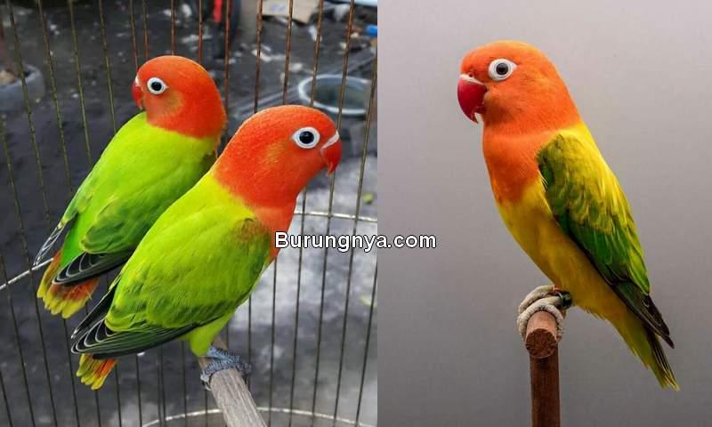 Harga Lovebird Biola Tahun 2020 Turun (tokopedia.net)