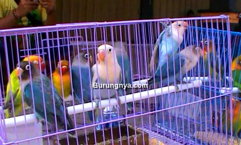 Harga Lovebird Terbaru 2020 (youtube.com)
