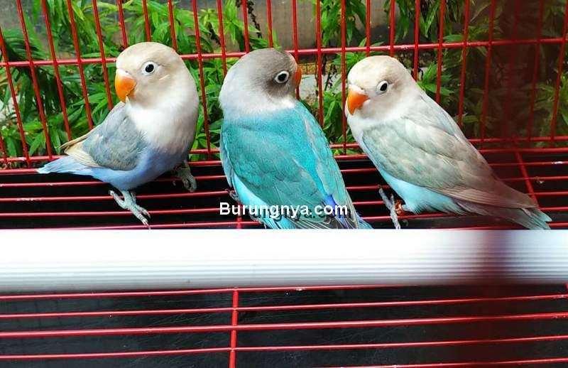 Jual Lovebird Cepat Laku dan Untung (juallovebirdmalang87.blogspot.com)