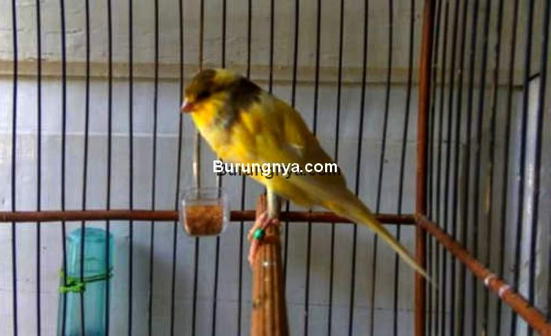 Kenari Ngerol Panjang (wordpress.com)