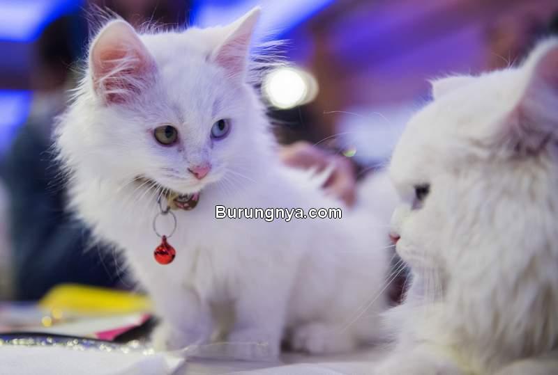 Kucing Anggora (aa.com.tr)