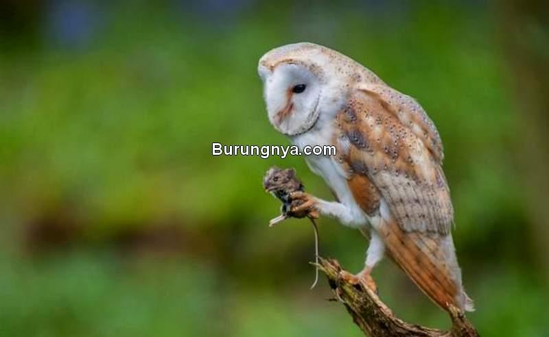 Makanan Burung Hantu dari Hewan Hidup (pinterest.com)